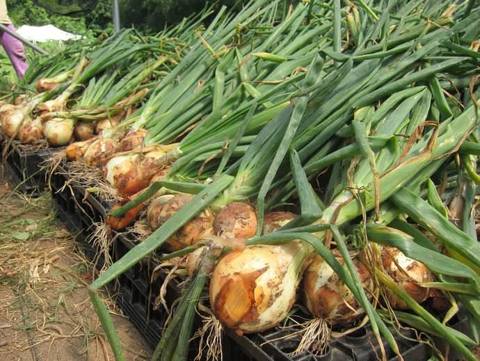 При выращивании лука в различных регионах есть свои особенности