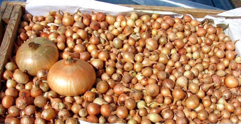 Лук-севок представляет собой посевной материал, который в дальнейшем используют для выращивания репчатого лука
