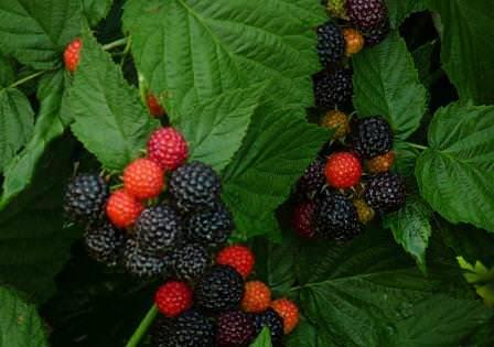 Черная малина Кумберленд отличается крупными ягодами