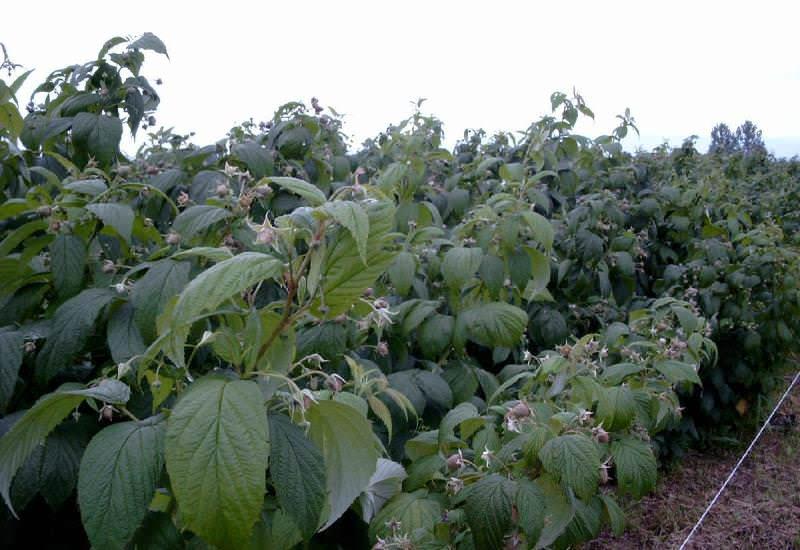 Куст малины Кумберленд в течение 20 лет может обходиться без пересадки
