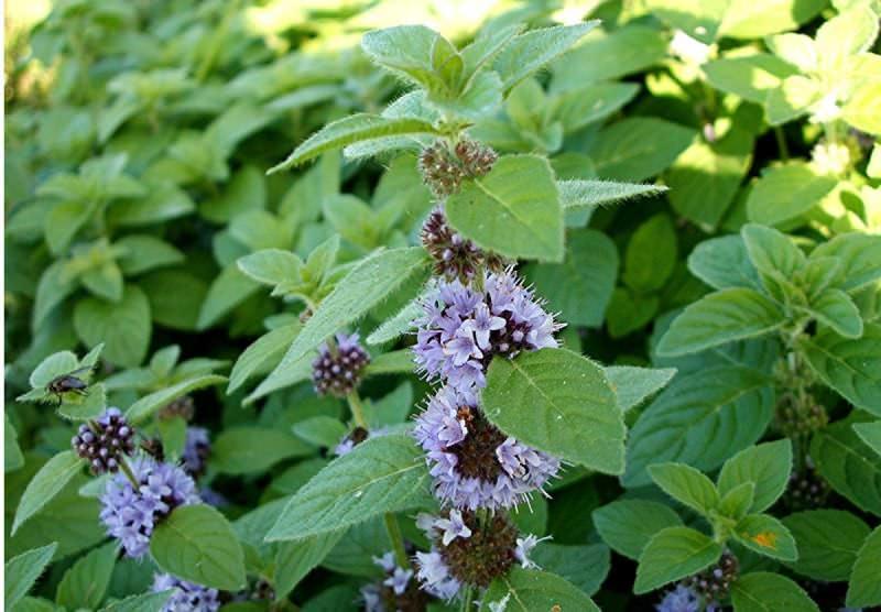 Мята цветет в июне-июле, в это время ее лечебные свойства самые сильные