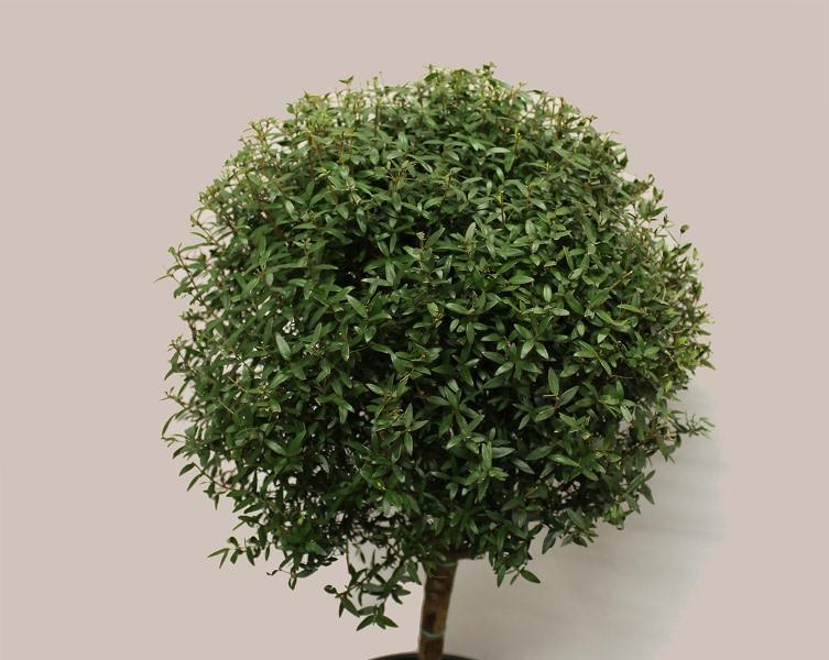 В качестве декоративного растения мирт используется уже свыше 400 лет