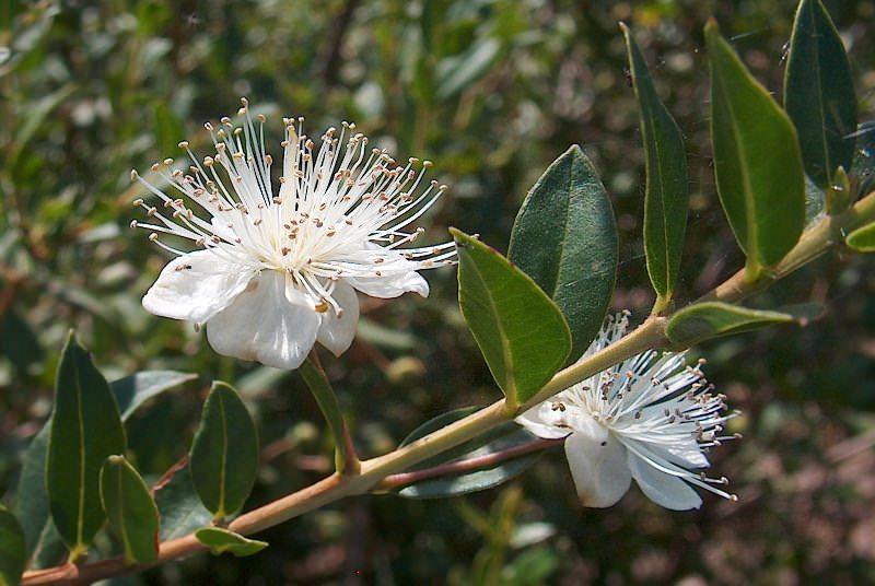 Цветы у мирта одиночные белого цвета с приятным запахом