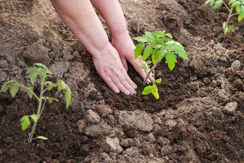 Для получения высокого урожая огородной культуры, нужно знать, что класть в лунку при посадке помидоров