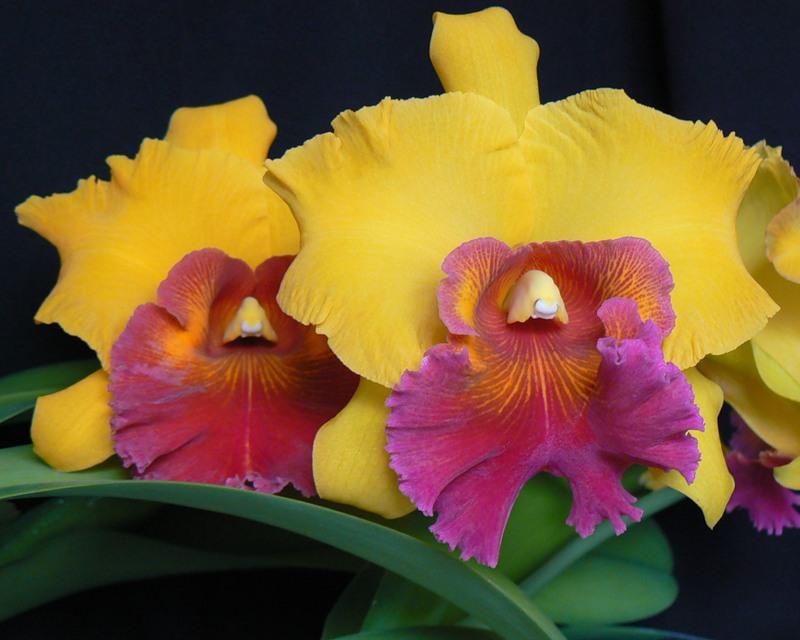 Характерная особенность комнатного содержания каттлеи с целью получения цветения представлена необходимостью осуществлять смену режима освещения