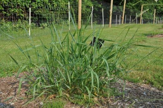 Пырей обыкновенный – сорняк, который крайне тяжело вывести с огорода