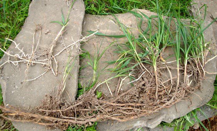 Пырей – настоящая беда на огороде, потому что полностью искоренить его удается далеко не сразу
