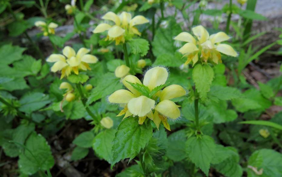 В народе данное растение часто называют ясноткой зеленчуковой, волшебной крапивой, липником, глухой мятой