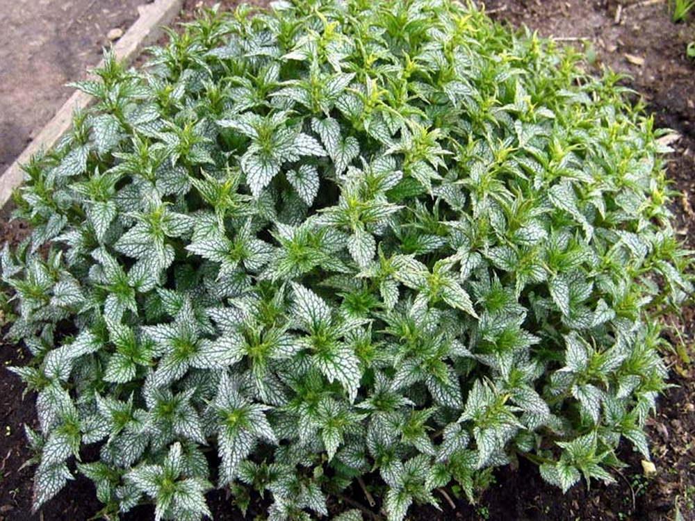 Зеленчук желтый часто применяется в садовых и парковых композициях как почвопокровное многолетнее растение