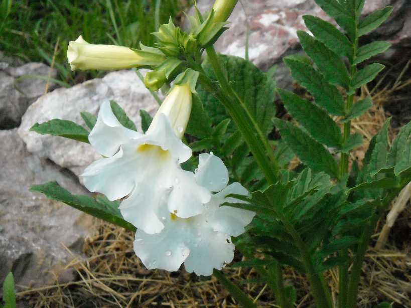 Садовая глоксиния неплохо переносит зимовку, но все же рекомендуется создать дополнительный слой защиты для перестраховки