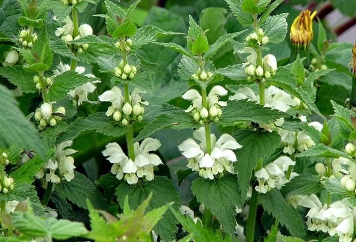 Яснотка белая произрастает практически везде: в заброшенных садах и огородах, в лесах и на опушках, полянах и лугах