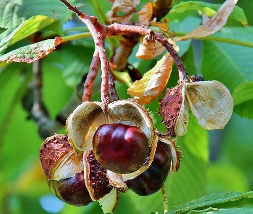 Конский каштан считается лекарственным растением