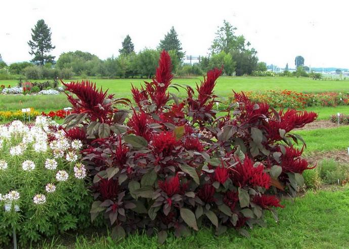 Амарант используется во всех видах цветочно-декоративного оформления