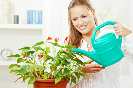 Антуриуму необходим обильный полив, особенно в период активного роста или цветения