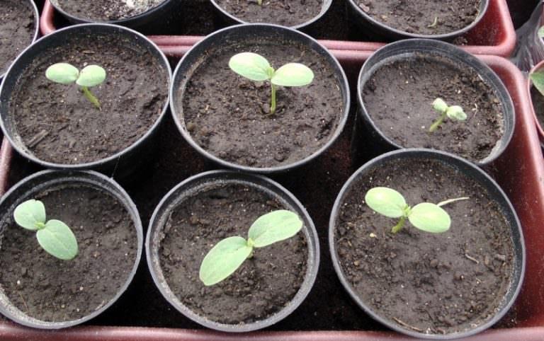 В Подмосковье лучше выращивать сначала рассаду арбузов