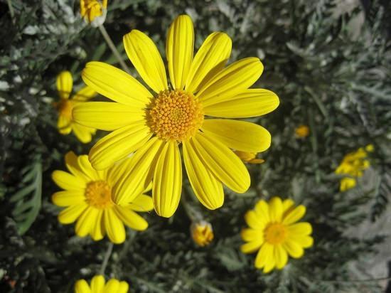 Трава арника горная — многолетник, относящийся к роду Арника и семейству Астровые