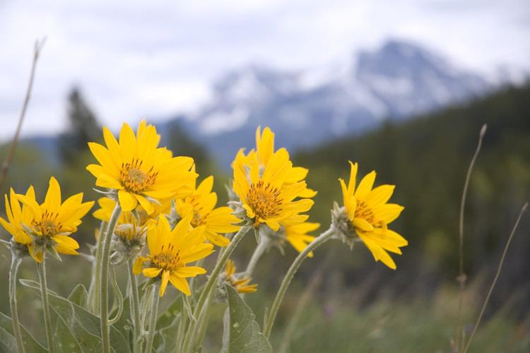 В естественных условиях арника горная произрастает в лесных зонах, на лугах и полянках, по лесным опушкам и на просеках