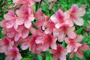 Многие цветоводы с удовольствием выращивают Азалию на своих участках