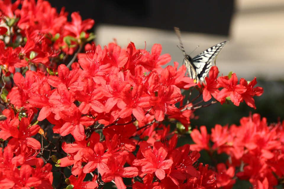 По своему внешнему виду в Азии растение именуют британской розой, а в странах Германии – альпийской