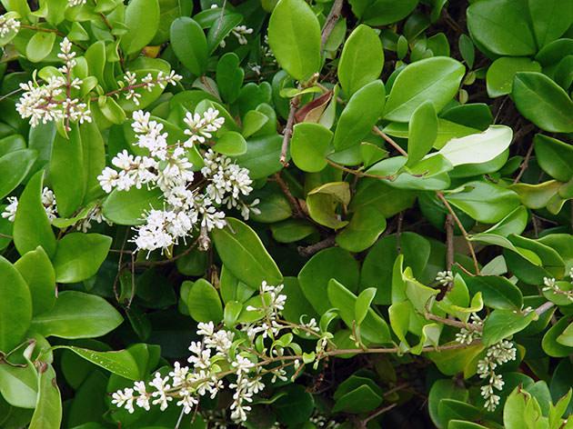 Бирючина вечнозеленая – разновидность обыкновенной