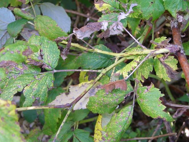 При антракнозе на зеленых частях растения и ягодах появляются мелкие пятнышки