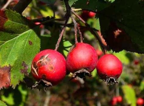 В традиционной и нетрадиционной медицине цветы, плоды и кора боярышника использовались еще с XIX столетия