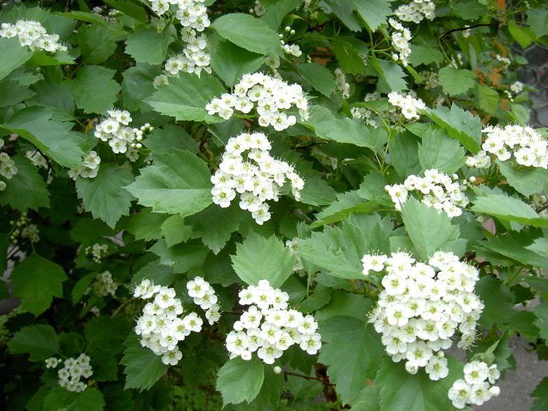 Сбор соцветий боярышника начинается в конце весны или в начале лета