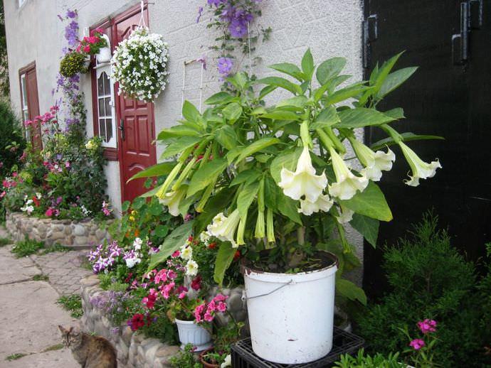 Бругмансия относится к категории кадочных растений