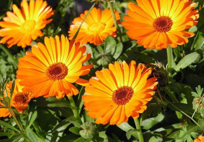 Встретить оранжевые соцветия, собранные в корзинки, можно уже в июне