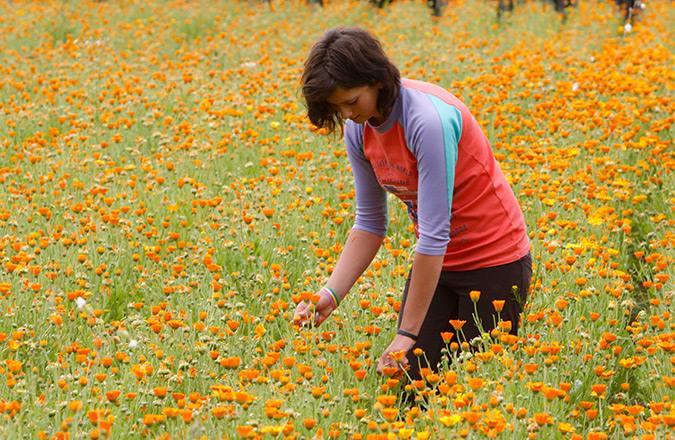 Цветки календулы можно увидеть уже через несколько недель после появления всходов, в эту пору начинается сбор лекарственного сырья
