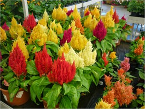 Целозия — растение, относящееся к семействк Амарантовые или Маревые