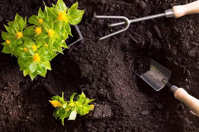 Пересадка подросших в домашних условиях растений на цветники открытого грунта производится непосредственно после окончания сильных заморозков