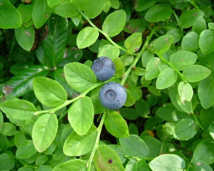 Пользу приносят здоровью человека и листья черники