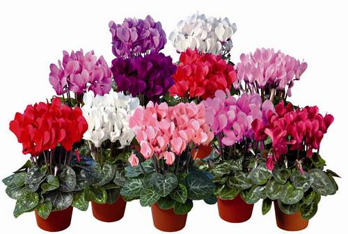 Цикламен ценят за яркую палитру красок, приятный запах цветков
