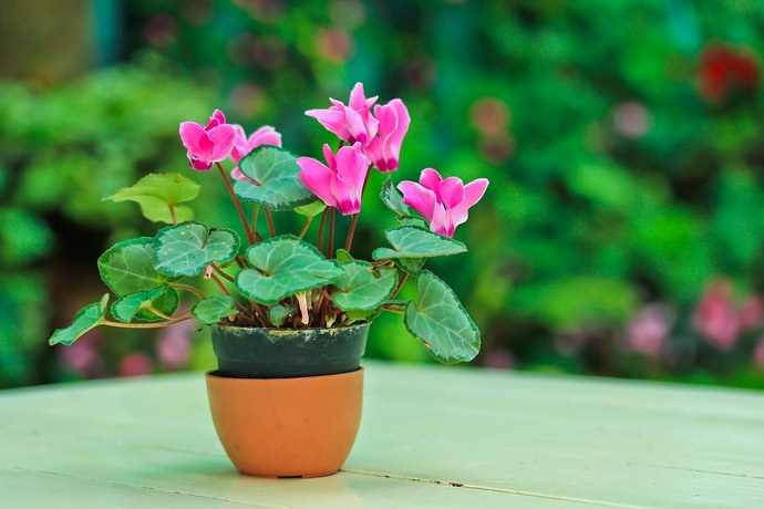 Цветение цикламена происходит с ноября по март, после чего наступает покой