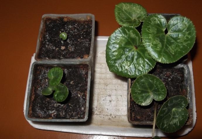 Дрякву можно размножать семенами