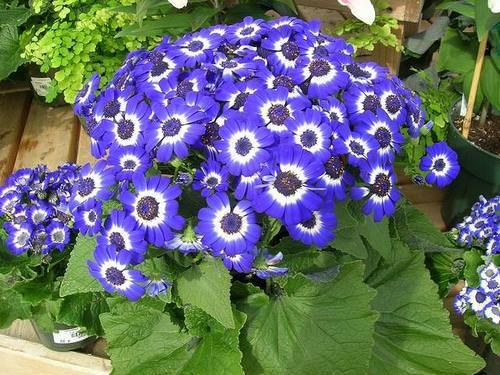 Цинерария – истинная находка для ценителей цветочного хозяйства
