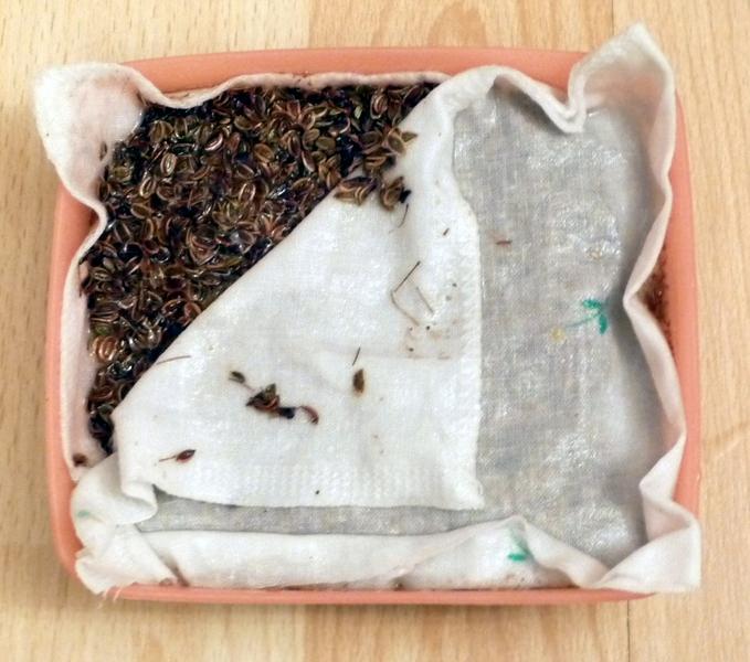 При посадке семян предварительно их рекомендуется замочить в средстве Фитоспорн-М