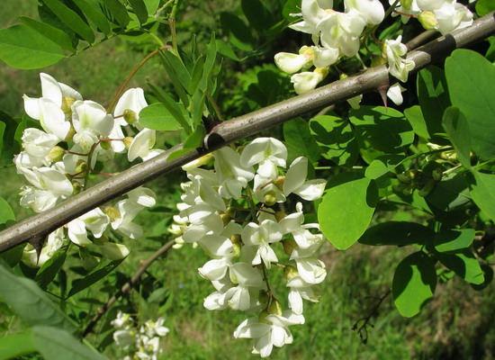 Лечебные свойства акации известны многим огородникам
