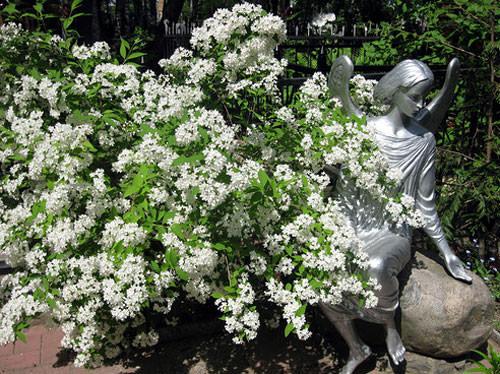 Дейцея ценится садоводами