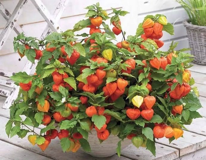 Физалис – интересное растение, которое постепенно завоёвывает популярность наравне со своими родственниками из семейства