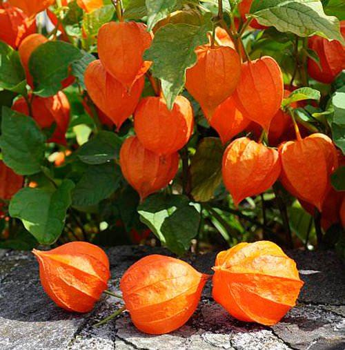 Физалис не относится к заурядным и распространённым растениям