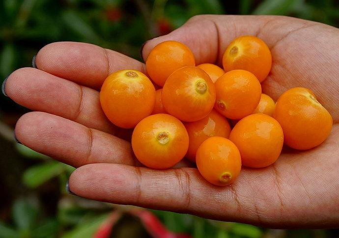 Физалис является родственником томата, но если их сравнивать, то он более устойчив к холодам и засухе