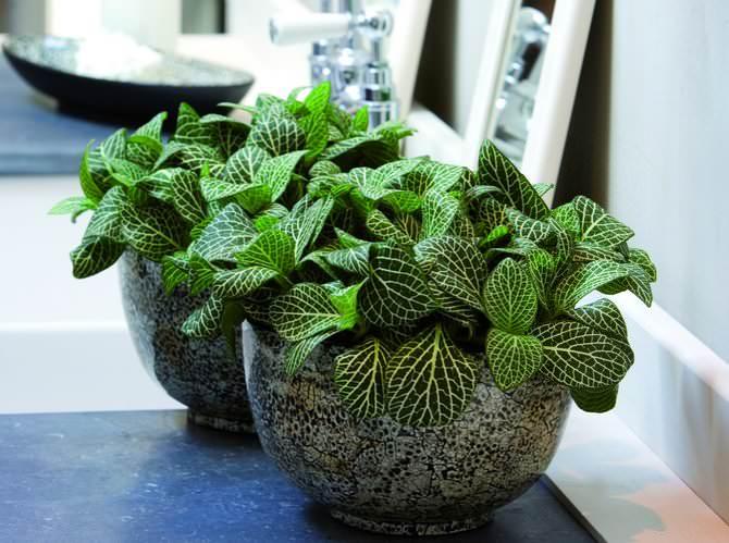 Редкостный по красоте экзот фиттония – истинная жемчужина домашнего цветоводства