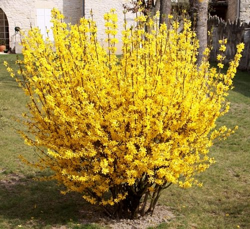 Форзиция – небольшое деревце из семейства Маслиновые