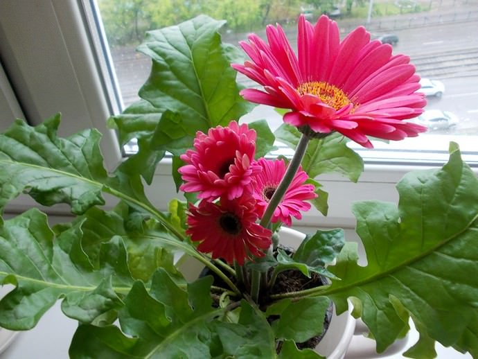 Комнатные герберы в домашних условиях практически всегда хорошо цветут