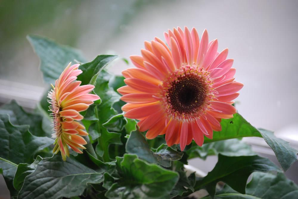 Примерно в середине февраля активизируется естественное развитие растения, и появляются цветы, которые отцветают примерно в июне