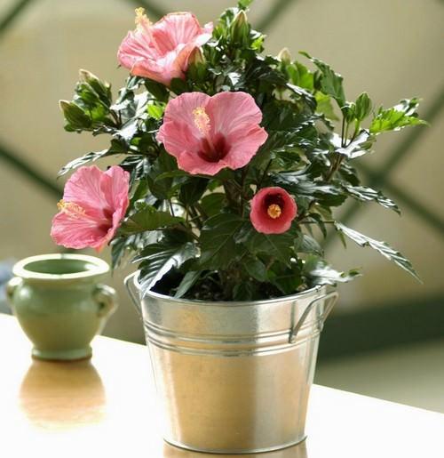 Комнатный гибискус понравится тем, кто впервые хочет завести дома цветы
