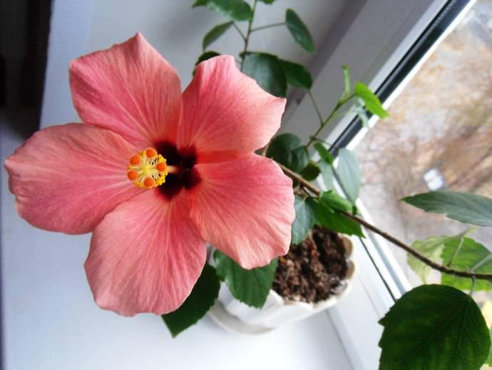 Роза любит хорошее освещение, лучше всего поставить ее у окна, но свет должен быть не прямым