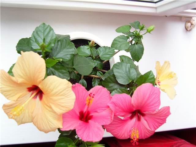 Цветение комнатного гибискуса длится с начала весны и до поздней осени